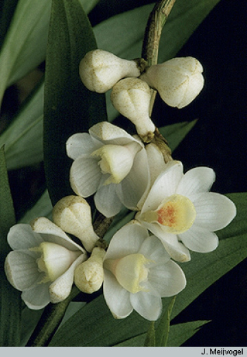 Dendrobium and Its Relatives